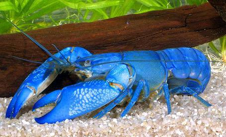 aquarium eau douce crustaces